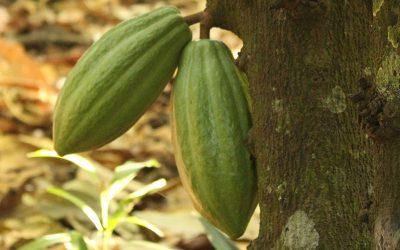 Mejora la calidad de los suelos cacaoteros